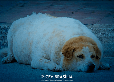 Obesidade em cães e gatos: o que é e como combater?